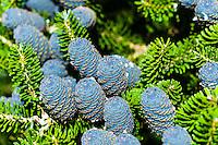 Sandnes, Norway. Korean Fir with blue cones.