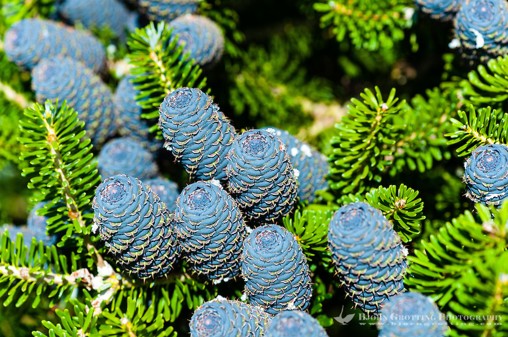 Sandnes, Norway. Korean Fir with blue cones.