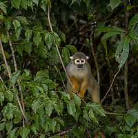 A squirrel monkey climbs through branches over Nauta Creek off of the Maranon River in the Peruvian Amazon.