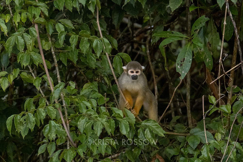 A squirrel monkey climbs through branches over Nauta Creek off of the Maranon River in the Peruvian Amazon.