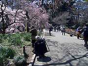 photographers taking a picture of the first cherry blossom Shinjuku Gyoen Park Tokyo