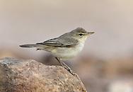 Eastern Olivaceous Warbler - Iduna pallida