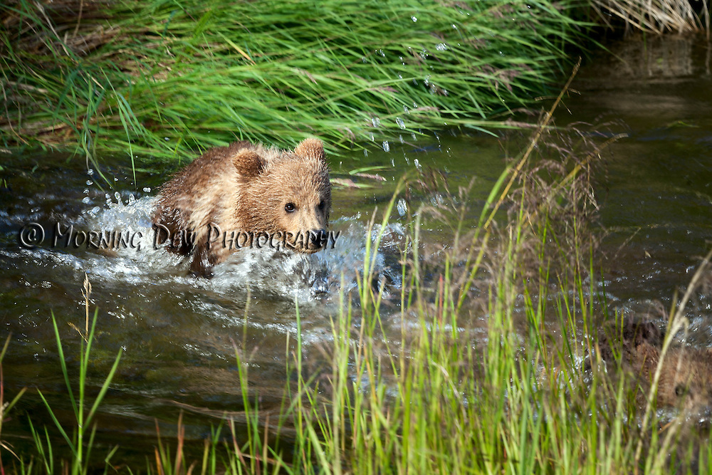 A spring cub swims after its mother in Brook River, Katmai National Park, Alaska