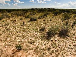 Aerial view of Valentin Gruener and Sirga the lion (Panthera leo), Grasslands Ranch, Kalahari Desert, Botswana Africa