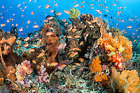 Sponges, Soft Corals, and Anthias<br /> <br /> Shot in Indonesia