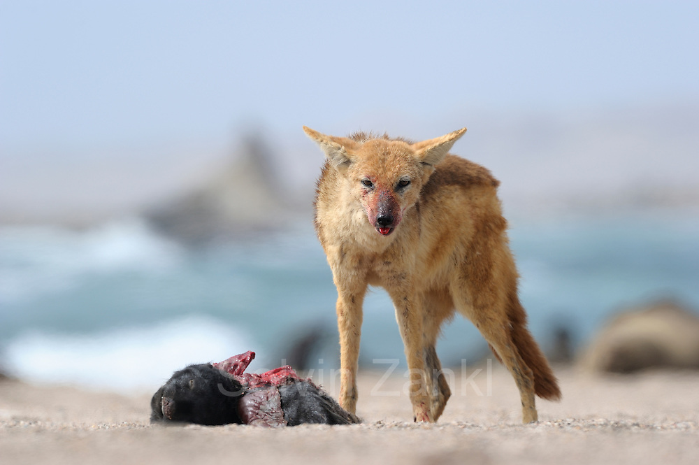 Black backed jackal (Canis mesomelas) attacks Cape Fur Seal pup (Arctocephalus pusillus), Tsau-ǁKhaeb-(Sperrgebiet)-Nationalpark, Namibia   Schabrackenschakal (Canis mesomelas) frißt an Kap-Pelzrobbe (Arctocephalus pusillus pusillus), auch Südafrikanischer Seebär genannt. Sperrgebiet National Park, Namibia