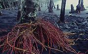 Coconut trees, Kalapana Black Sand Beach, Island of hawaii<br />