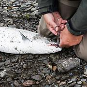 Tómas Guðmundsson fly fishing for atlantic salmon at the pool Klapparhylur on the river Breiðdalsá, Iceland.