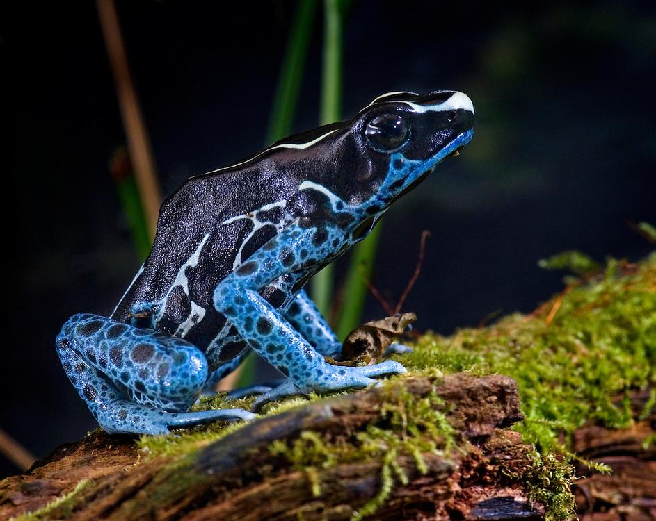 Poison Arrow Dart Frogs (Dendrobates  tinctorius 'Powder Blue')