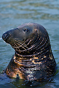 Seal at the National Seal Sanctuary at Gweek in the Helford Estuary, Cornwall, UK.