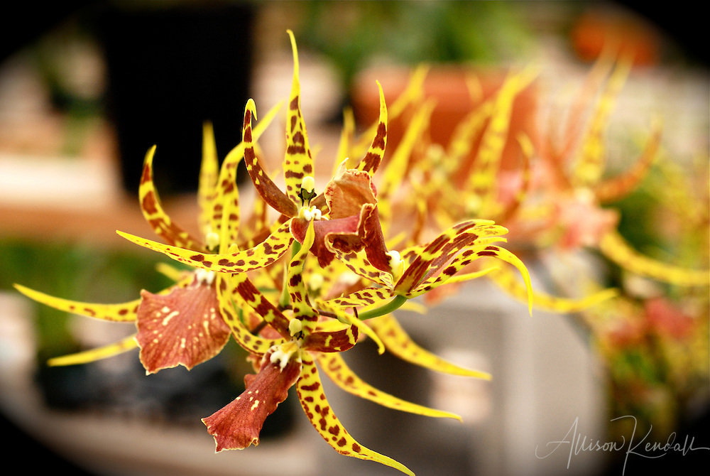 A single stalk of an orchid plant is heavy with yellow, orange and maroon flowers