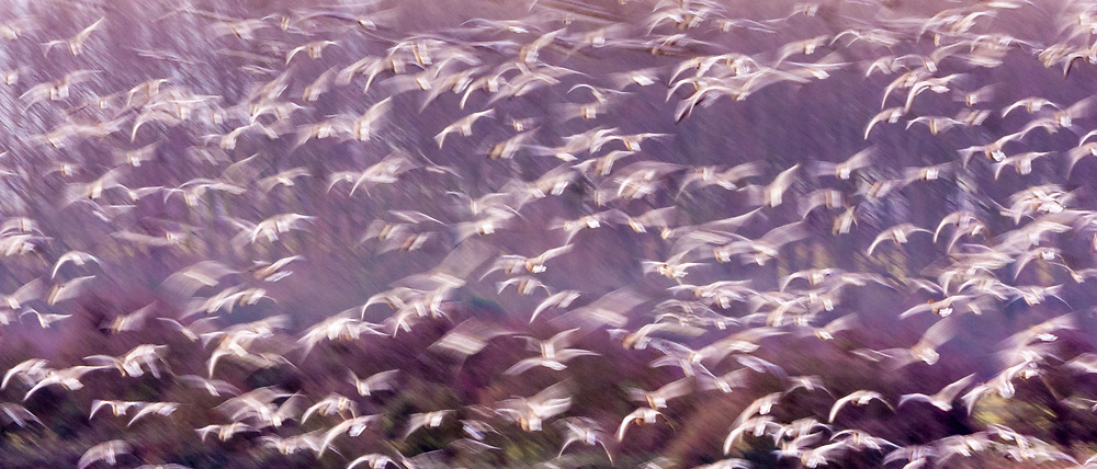 Motion blur - migrating Pink-Footed geese over-wintering at Holkham, North Norfolk coast, East Anglia, England