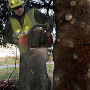 PORTLAND, Maine  11/15/18 --  Luke Lermond, a member of the Forestry Section of Portland's Parks, Recreation & Facilities Department, cuts this year's Christmas tree from the front yard of the South Portland Fire department at Cash Corner.  The fire Department donated a 40-foot blue spruce to the city of Portland as this year's Christmas tree.  <br />