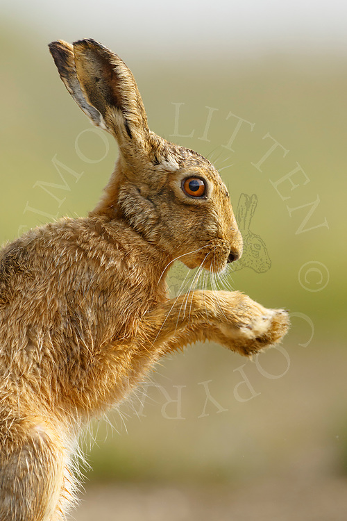 European Hare (Lepus europaeus) adult flicking its paws, South Norfolk, UK. June.