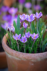 Crocus chrysanthus 'Spring Beauty' syn. C. minimus growing in a terracotta pot.