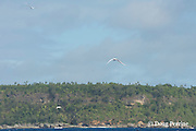 white terns, Gygis alba, fly over Hunga Island, Vava'u, Kingdom of Tonga, South Pacific