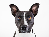 Adoptable Pit Bulls @ PACC