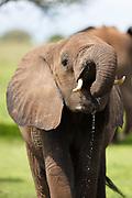 Young elephant drinking water, Tarangire