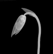 An X-ray of an orchid flower bud (Paphiopedilum sp.)