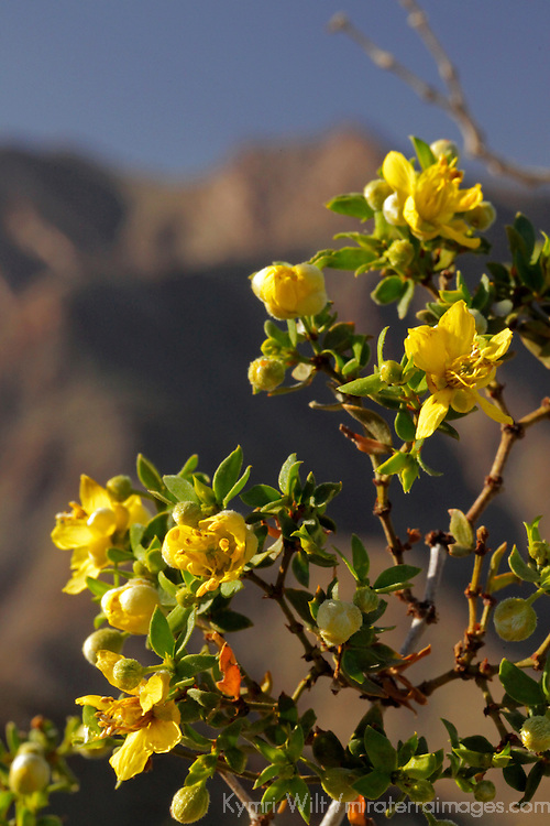 USA, California, San Diego County. Creosote Bush in bloom at Anza-Borrego.