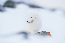 Arctic fox (Alopex lagopus) in Svalbard, Norway