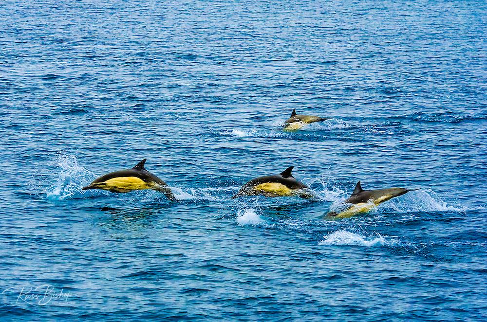Common Dolphin (Delphinus delphis), Channel Islands National Park, California USA