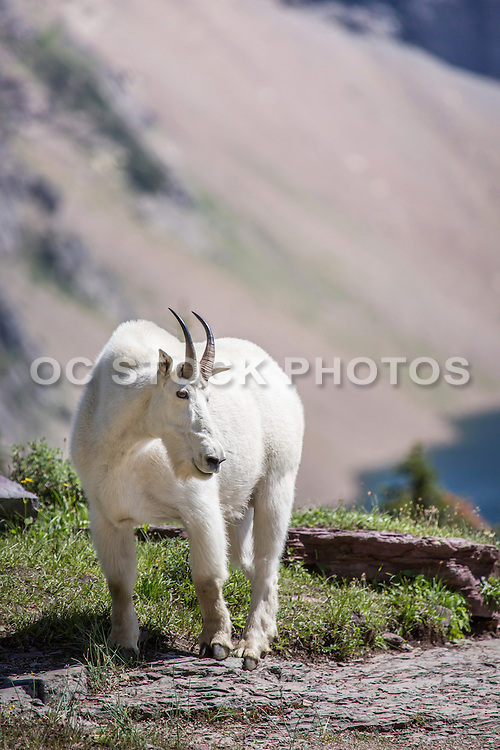 Mountain Goat at Logan Pass Hidden Lake Trail Glacier National Park