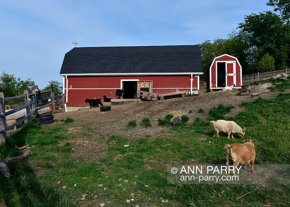 South Merrick, New York, USA. 24th May 2015. Nigerian Dwarf Goats graze on grass by the large wood red barn at Norman J Levy Park & Preserve, during a sunny Memorial Day weekend. The miniature goats are popular attractions at the Long Island park, and help it ecologically by grazing on weeds.