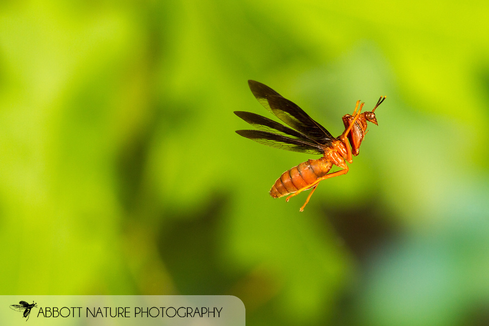 Wasp Mantidfly (Climaciella brunnea) flying<br /> United States: Alabama: Tuscaloosa Co.<br /> Tulip Tree Springs off Echola Rd.; Elrod<br /> 29-Apr-2017<br /> J.C. Abbott #2942
