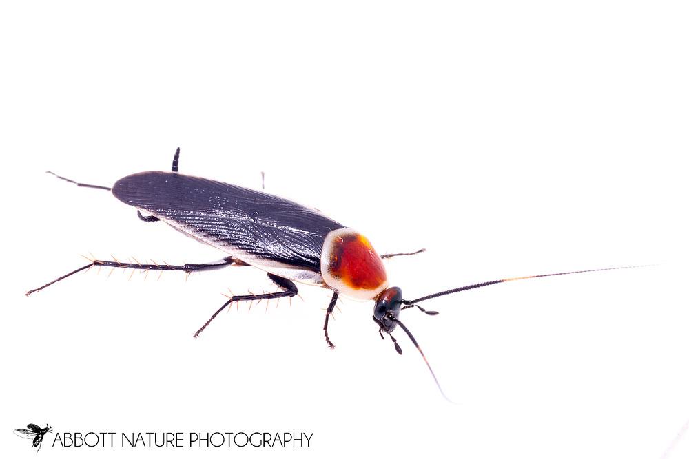 Pale Bordered Field Cockroach (Pseudomops septentrionalis)<br /> TEXAS: Jasper Co.<br /> Brookeland/Lake Sam Rayburn KOA @ 505 Co Rd 212<br /> 31.141606, -93.994174<br /> 22.May.2015<br /> J.C. Abbott #2733 &amp; K.K. Abbott