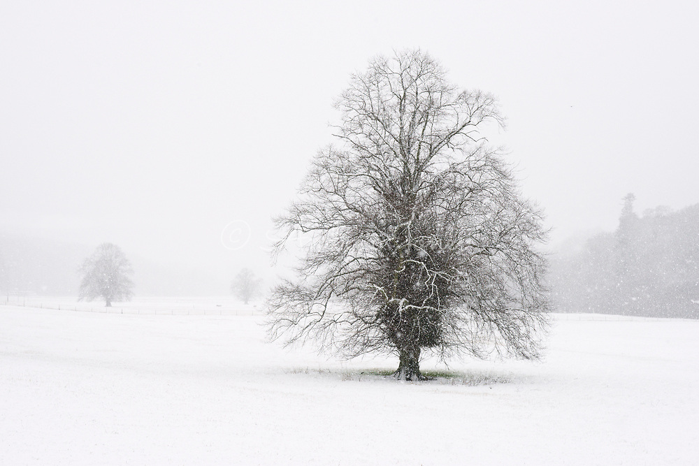 Tilia (lime) trees in snow covered field