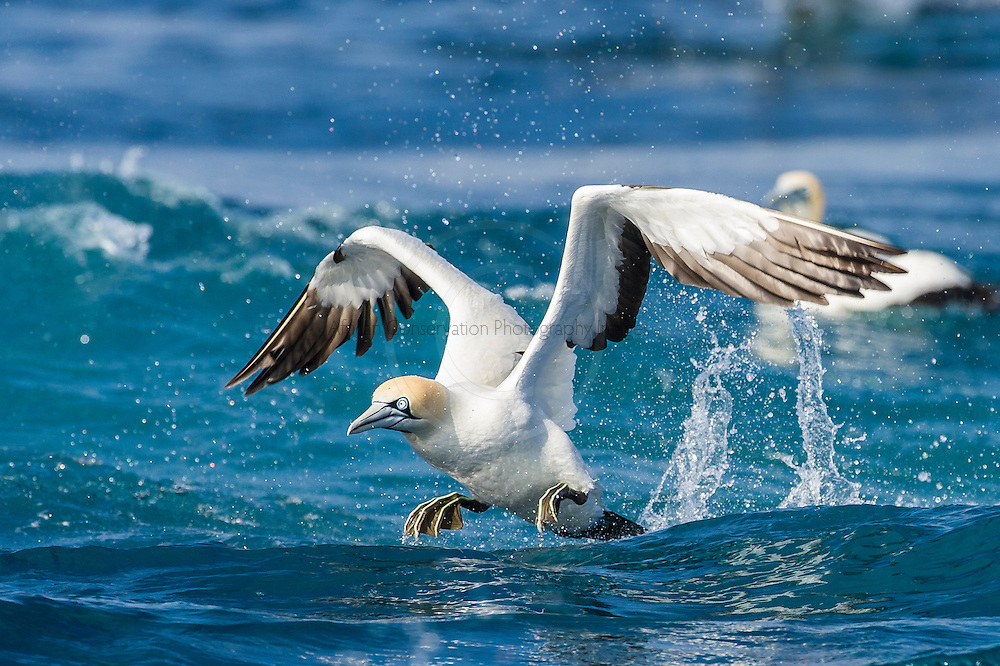 Cape Gannet taking off from the ocean, Cape Canyon Trawl Grounds, South Africa