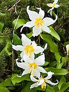 white Avalanche Lilies (Erythronium) on Tolmie Peak, Mount Rainier National Park, Washington, USA