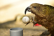 [captive] Keas (Nestor notabilis) enjoy examining new objects such as this gulf ball. The beak of a Kea is long and very useful for seizing objects. This Kea learned to throw a golf ball towards the scientists by gripping the ball between its beak and foot and quickly releasing it. The picture was taken in cooperation with the University of Vienna (UniVie) and University of Veterinary Medicine Vienna (VetMed). | Keas (Nestor notabilis) untersuchen unbekannte und neue Objekte, die ihnen im Gehege präsentiert werden. Der Kea-Schnabel ist sehr lang und eignet sich gut zum Greifen. Dieser Kea hat gelernt, einen Golfball auf die Wissenschaftler zu schleudern, indem er ihn zwischen Fuß und Schnabel einklemmt und schnell loslässt. Das Bild wurde in Zusammenarbeit mit der Veterinärmedizinischen Universität Wien und der Universität Wien erstellt.