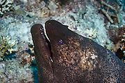 Giant moray eel (Gymnothorax javanicus) side view of mouth showing teeth. The giant moray eel is the largest of the moray eels. It is found in the Indo-Pacific region, and reaches up to 3 metres in length. Here, only the head and front part of its elongated body is visible. Photographed in the Red Sea, Sinai, Egypt.