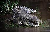 Crocodiles, Lizards, Tortoise and Snake