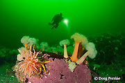 diver examines white-plumed anemones or giant plumose anemones, Metridium farcimen, sea anemone, sea urchin, sea star, tunicate, and encrusting algae covering a boulder at Baie des Anglais, off Baie Comeau, Quebec, Canada, St. Lawrence River estuary