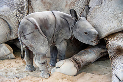 "This adorable calf has made history after becoming the first ever Indian rhino to be born using artificial insemination. Akuti, a seven-year-old Greater One Horned Indian Rhinoceros, gave birth at approximately 12.30am on Tuesday April 23. According to delighted zoo staff, it is the first ever birth of the species by induced ovulation and artificial insemination. Amazingly, the youngster appears to be in excellent health and these adorable images capture the scientific marvel taking its first ever steps as it wobbles around its enclosure. According to zoo officials, natural breeding wasn't working, so an expert team of animal reproductive specialists from the South East Zoo Alliance for Reproduction and Conservation, which focuses on endangered species, were brought in to help the birth along. The crew artificially collected semen from the father, Suru, on Jan. 8, 2018. The following day they artificially inseminated the mother. Once the team of experts had confirmed that Akuti was pregnant, she was trained to receive regular ultrasound examinations. This helped the staff monitor the development of the baby. Because the exact date of conception was known, they were able to accurately estimate the birth date. Zoo Spokesperson Ron Magill said: ""With the artificial insemination, we had to first collect the semen from the male. Once that was done, we had to immobilize the female so that there would be no danger to the veterinarians who then carefully used an instrument that is inserted vaginally and placed up against the cervix where the semen is then deposited,"" he said. ""The challenge is that it has to be timed precisely to her ovulation which was also induced. As it turned out, our timing was perfect."". 25 Apr 2019 Pictured: Historic Indian rhino born using artificial insemination at Zoo Miami. Photo credit: Ron Magill/ Zoo Miami / MEGA TheMegaAgency.com +1 888 505 6342"