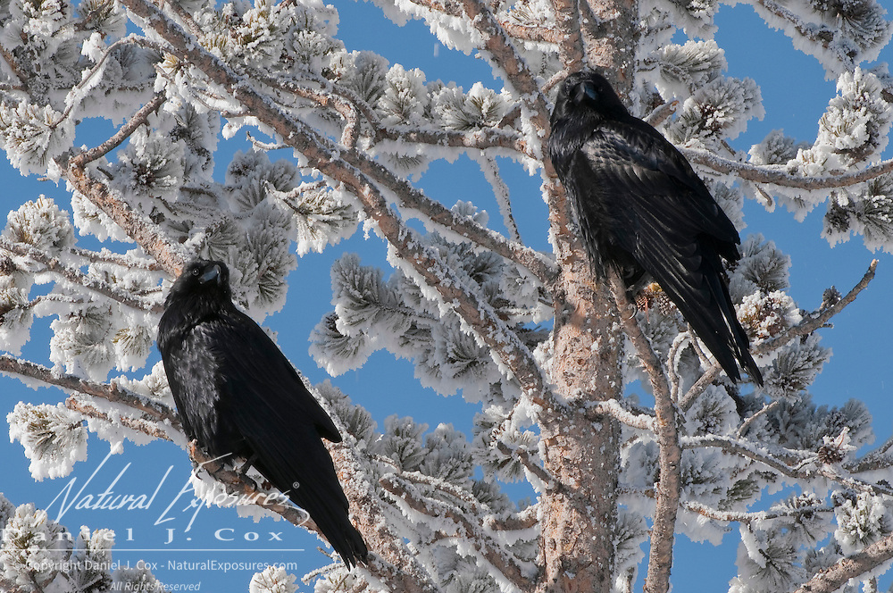 A pair of ravens perching in a frost-encrusted pine tree. Yellowstone National Park, Wyoming