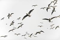 Herring gull, Larus argentatus, Lofoten, Norway,