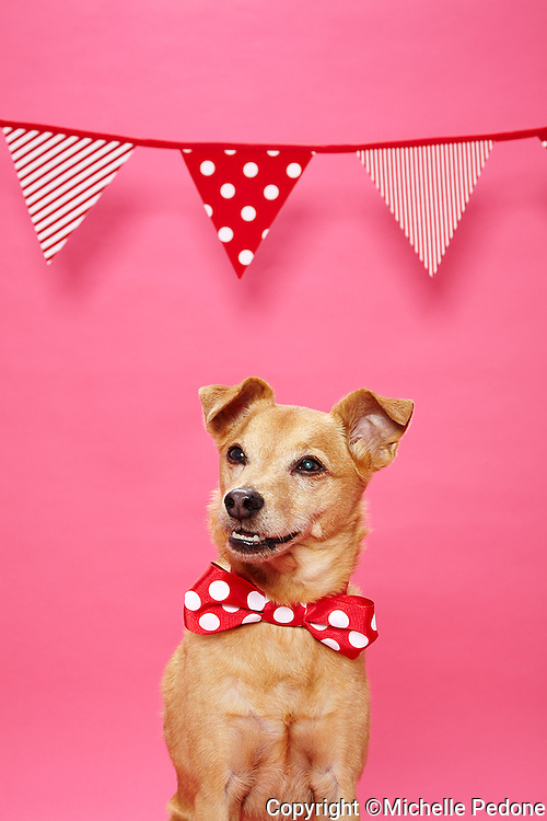Brown smooth coat terrier mix wearing red and white polka dot bow tie head tunred left against pink seamless.<br /> Photographed at Photoville Photo Booth September 20, 2015