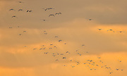 "Snowy Egrets flying ""home"" at sunset over San Elijo Lagoon in San Diego, California"