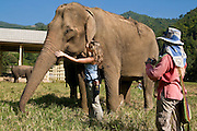 "Dianna Sliva from Portugal pets Jokia while Jody Thomas takes her photo at the Elephant Nature Park near Chiang Mai, Thailand. Jokia gently walks up to volunteer, Dianna Silva from Portugal, who begins petting her trunk.  Silva says, ""It's a wonderful story how Mae Perm adopted Jokia when she had no friends.  It is my second time coming here.  For me Thailand is the best country.""..Jokia, age 50, was blinded in both eyes from an abusive owner, but her best friend Mae Perm, age 89, acts as her eyes leading her around the park.  ..Sangduen ""Lek"" Chailert founded the park as a sanctuary and rescue centre for elephants.  The park currently has 32 elephants sponsored and supported by volunteers from all over the world."