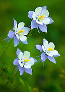 The Colorado State Flower, the Rocky Mountain Columbine (Aquilegia caerules).