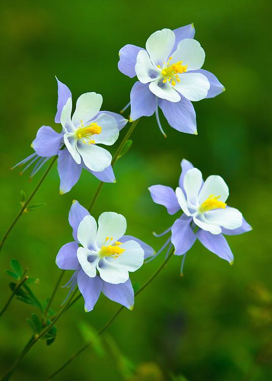 The Colorado State Flower, the Rocky Mountain Columbine (Aquilegia caerules).