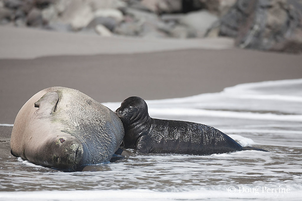Hawaiian monk seal, Monachus schauinslandi ( Critically Endangered species, endemic to Hawaiian Islands  ), nursing two week old pup, Waimanu Valley, Hawaii Island ( Pacific Ocean )