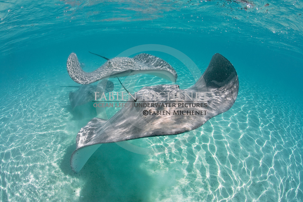 Raie pastenague - Himantura fai - Ile de Tahaa Polynésie