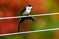Fork-tailed Flycatcher (Tyrannus savana) perched on wire, Mangueiras Ranch,  Bairro da Ponte Nova, Sao Paulo, Brazil (Photo: Pet
