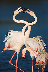 Greater flamingos ( Phoenicopterus ruber) fight during mating season, Le Camargue, Provence, France