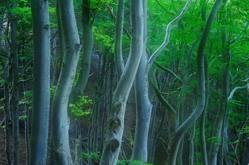 European Beech (Fagus sylvatica) - beech forest at Møns Klint, Denmark
